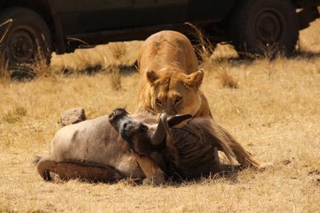 Mara Lion Hunt