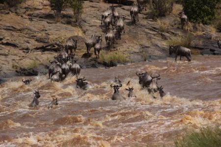 Mara River Wildebeests