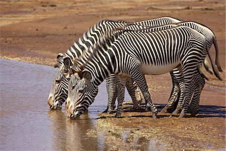 Grevys Zebra Samburu Safari