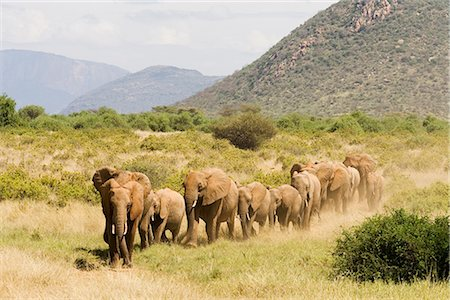 Elephant Herd Samburu