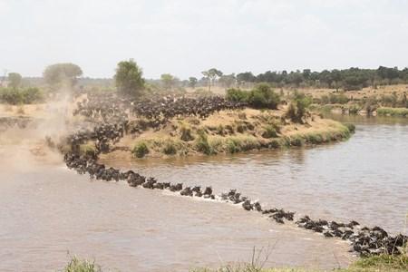 Wildebeest Migration Mara