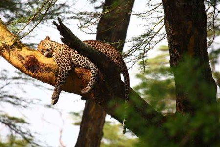 Sarova Lion Hill Lodge Leopard