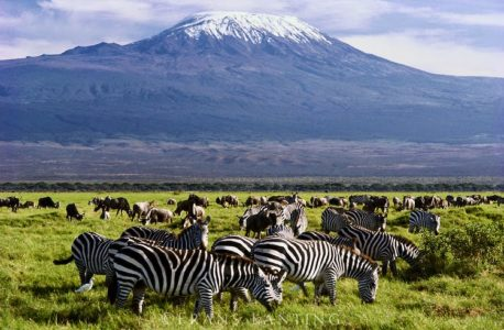 Zebras Amboseli National Park