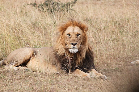 Tsavo West Lion